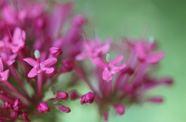 Fleurs de valériane par Beem Biker